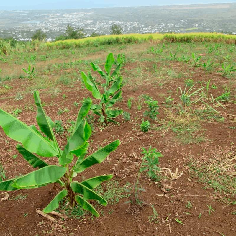 Plantation de bananes «mignonne»